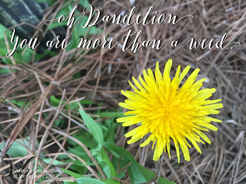 Oh Dandelion | Life at Spring Meadows